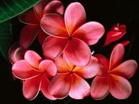NivaNiva_-_NivaNiva_-_Pink_Plumerias.jpg